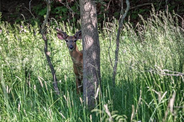 Deer-1200